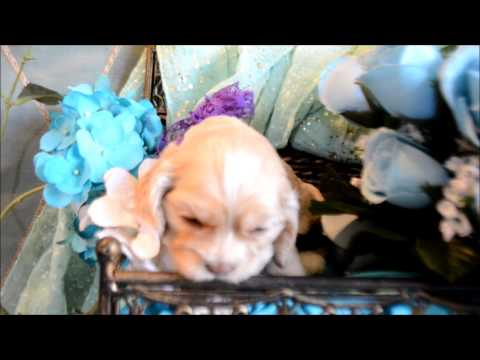 Abby AKC Female Silver Buff Cocker Spaniel Puppy for sale