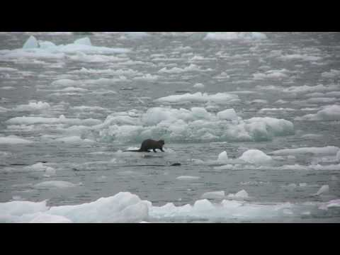 Icy Bay Camping How to - A family of River Otters frequented the area where we were camped in Icy Bay, this year and in past years as well. They were fishing and having some success,...