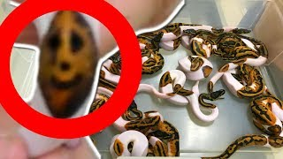 UNBOXING AMAZING SNAKES AND HATCHING AWESOME BALL PYTHONS!!! | BRIAN BARCZYK by Brian Barczyk