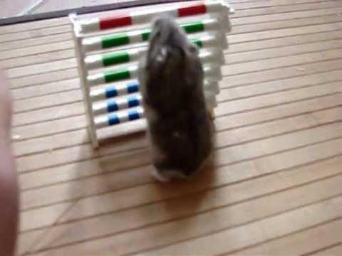 Parcours d'agility exécuté par un hamster !