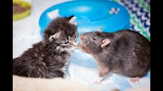 Video Brooklyn Cat Cafe Employs Rats To Care For Kittens | CUTE AS FLUFF MP3, 3GP, MP4, WEBM, AVI, FLV Agustus 2017