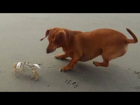 Dachshund vs Crab Part Two – They Meet Again