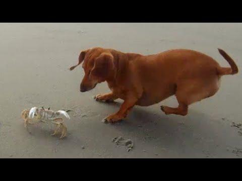 bassotto vs granchio!
