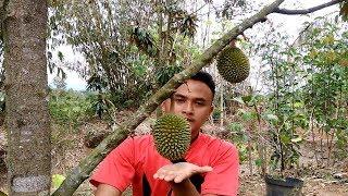 Video Tips dan Perawatan Durian Musang King Kaki 4 Agar Cepat Berbuah MP3, 3GP, MP4, WEBM, AVI, FLV Desember 2018
