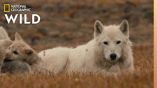 The Wolf Queen and Cubs | Kingdom of the White Wolf by Nat Geo WILD
