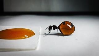 Video Queen of Honey Ants Drinks Honey MP3, 3GP, MP4, WEBM, AVI, FLV Desember 2017