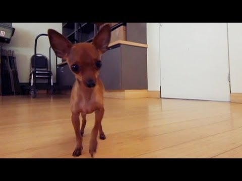 Chihuahua Mix Gets Frisky at the Office | The Daily Puppy