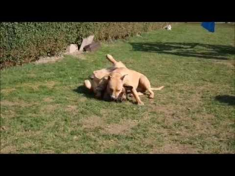 Two Large Dogs Fighting, Scared because Chihuahua Barks!!