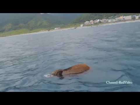 真正的海「豚」!山豬跑到海裡游泳讓原住民朋友驚呆了!