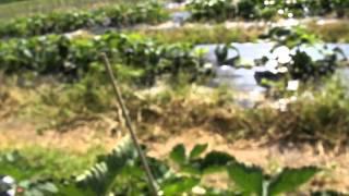 #420 Neues aus der Erdbeerzüchtung - vescana Hybriden