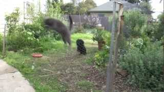 AMAZING Jump As Cat Runs From Dog