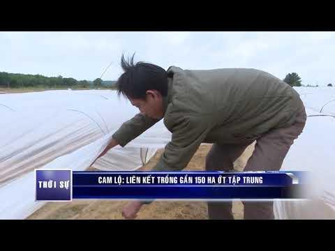 Liên kết trồng 150 ha ớt tập trung