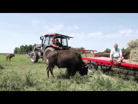 Capsule vidéo de la Foire sur la route : Bisons du Nord