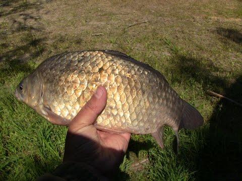 сало как наживка для ловли рыбы