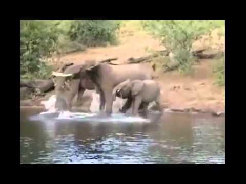 Cocodrilo ataca a un Elefante