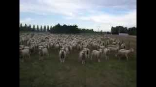 Sheep Protesting - FREAKING HILARIOUS!