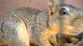 One of my friends in Eastern WA has a pet squirrel. So adorable! And, apparently, 9 years is more than double the regular lifespan of a squirrel. We all need...