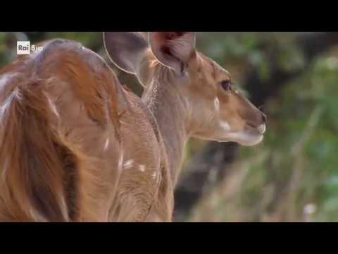 [Documentario] Icone del continente africano - ep. 1 - Le antilopi видео