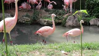 Chilean flamingos at Parco Natura Viva, Italy (2017)