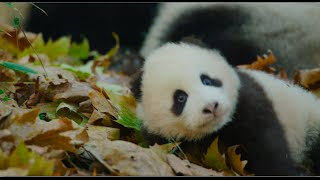 Nonton Disneynature S Born In China Official Us Trailer Film Subtitle Indonesia Streaming Movie Download