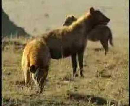 0 Lion and Hyena