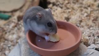 Osmium The Hamster Eating A Banana by ErinsAnimals