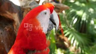 CLOSEUP OF SHOT OF SCARLET MACAW IN JUNGLE HEBU VYBE