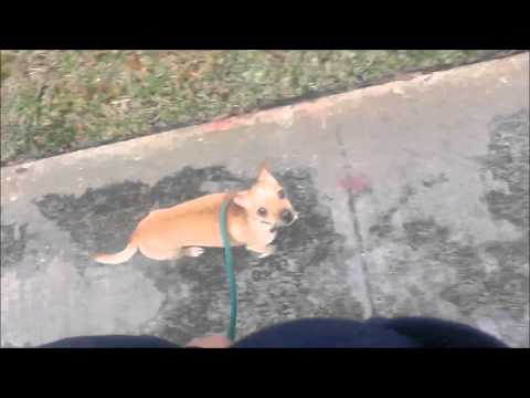 Out of Control Chihuahua Learns Obedience and Manners- Take the Lead K9 Training