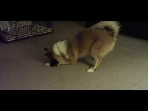 Icelandic Sheepdog Puppy Plays With Carrot..SUPER CUTE!!!