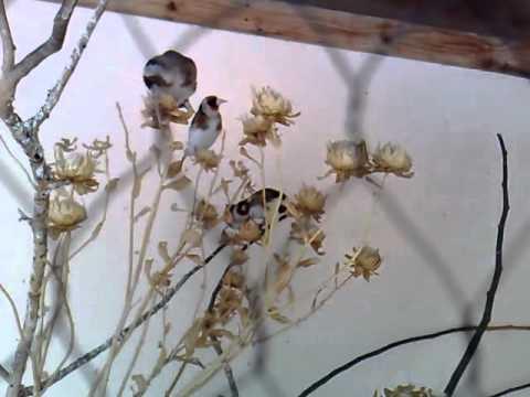 تكاثر طائر الحسون وانواع الاعشاب التي يتغذى عليها