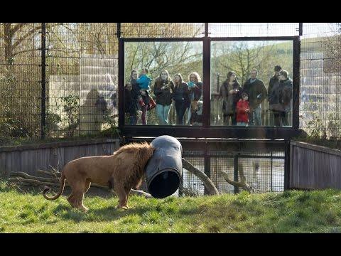 這次真的糗大了!獅子的頭竟然被桶子給卡住了!