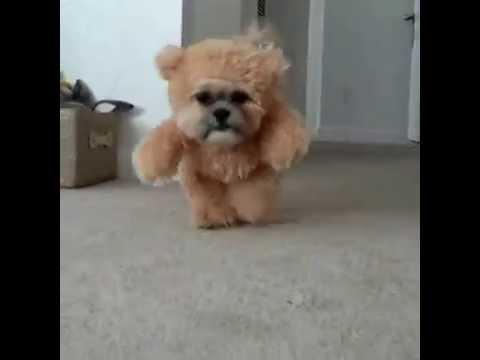 Video - Σκύλος με στολή αρκούδου κατακτά το internet