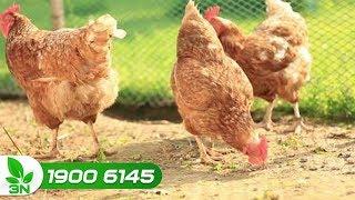 Chăn nuôi gà | Điều trị bệnh Newcastle ghép viêm phế quản thể thận ở gà