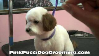 Dog Grooming Maltipoo Ryu Gets A Japanese Style Makeover With Color At Pink Pucci In Torrance