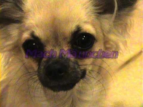 Luna der Chihuahua- Lunas Tricks
