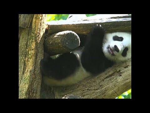 Wien/Österreich: Tierpark Schönbrunn - Panda-Zwillinge  ...