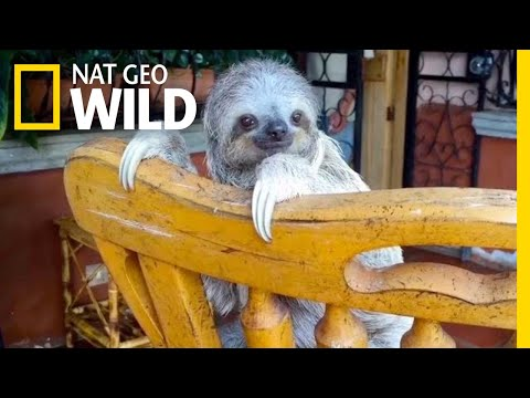 Baby Sloths Learn to Climb on Rocking Chairs   Nat Geo Wild