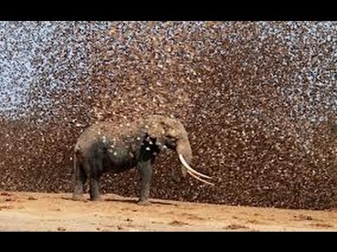 Swarm - As if we hadn't already seen enough Biblical events this year, a plague of over 30 million locusts swarmed over Egypt's cities and farms just three weeks bef...