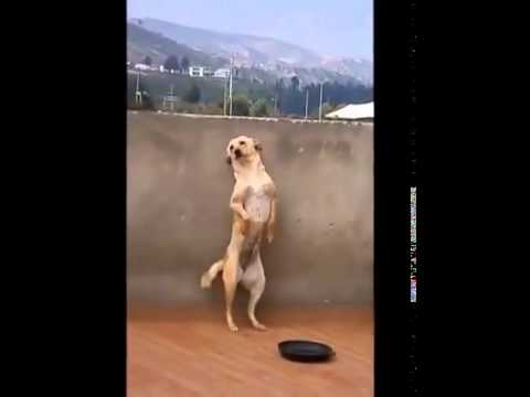 cane balla il latino-americano, spassosissimo!