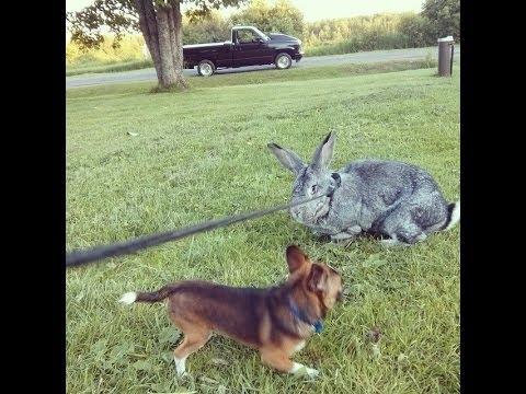 il coniglio olandese gigante - coniglio vs chihuahua