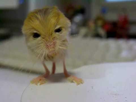 跳鼠測量體重的可愛模樣!差點被萌死
