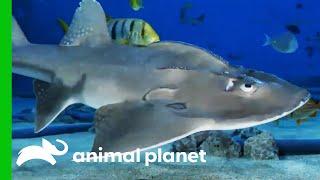 Big Mama The Bowmouth Guitarfish Might Be Pregnant!   The Aquarium by Animal Planet