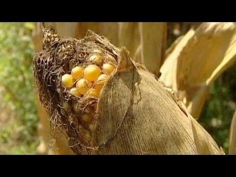 اوروبا تسمح بزراعة الذرة المعدلة وراثيا - فيديو