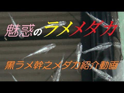 黒ラメ幹之(みゆき)メダカの紹介動画