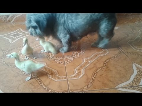 UGLY DUCKLING PURSUED BY A SHIHTZU / SHITZU JUGANDO CON PATITOS /SHIHTZU PUPPY CHASES DUCKS