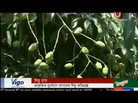 Litchi Groves damaged Due to Natural Disasters (20-04-2018)