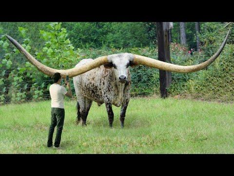 6 Animales Con Los Cuernos Más Grandes Del Mundo 😮