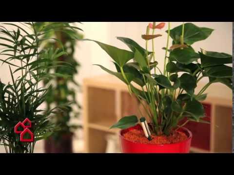 BAUHAUS Produktvideo: Seramis Ton-Granulat für Zimmerpflanzen