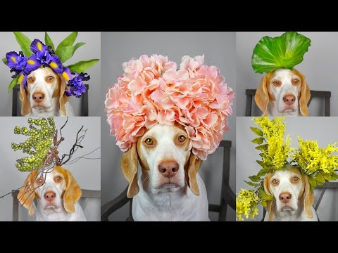 Maymo Dog Balances 50 Flowers  Plants on Head