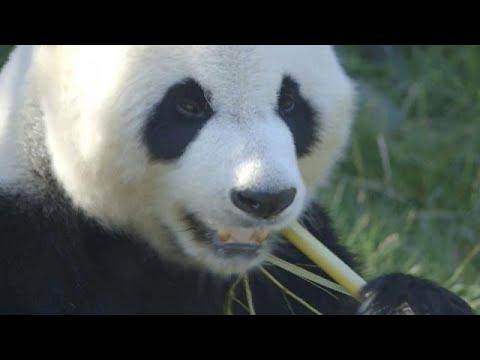 Kopenhagen/Dänemark: Chinas Panda-Diplomatie - Zoo vo ...